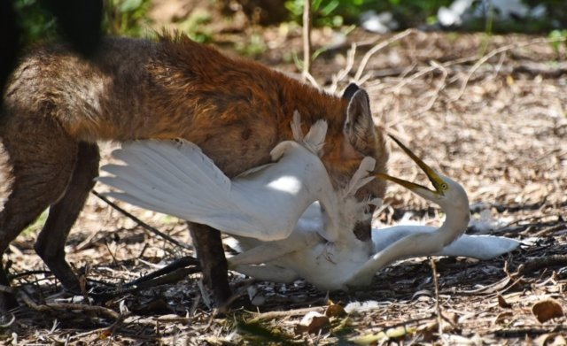 Calling for Rural Property Owners / Managers / Lessees in the Upper Great Southern who may be interested in Fox Baiting (including existing RCP 1080 bait permit holders) To get more details, apply and participate in this project email communications@ohcg.org.au