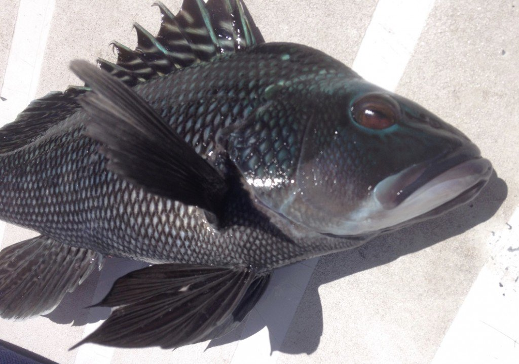 Black sea bass picture — img 15