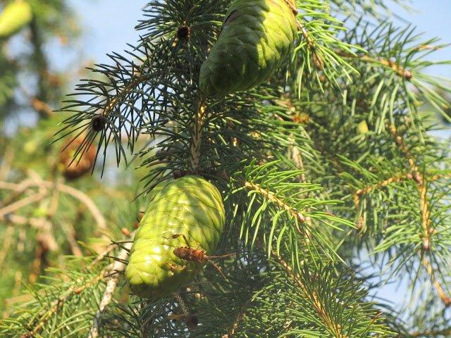 Where Does Picea abies live ? ilgustodellanatura-blog.blogspot.com/2016/08/dove-c…