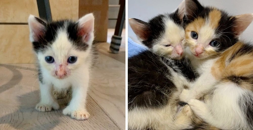 Kitten helps her brother heal after they were found abandoned on the side of a road. See full story and updates: lovemeow.com/kittens-rescue…