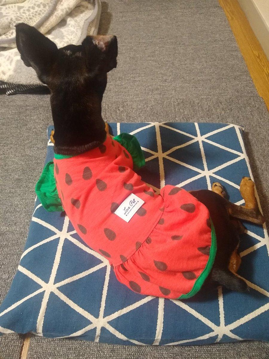 test ツイッターメディア - はるかさん!今日は変顔を撮ってしまったお詫びにダイソーの300円のスイカ服と150円のクッションカバーでお許しくださいm(_ _)m かなり女の子らしいですよ♪ #ダイソー #犬の服 #ミニピン #夏と言えばすいか https://t.co/febkBkeUU7 https://t.co/FxhUc2dQPJ