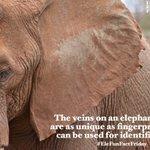 Image for the Tweet beginning: Happy #EleFunFactFriday!  The veinson an elephant's