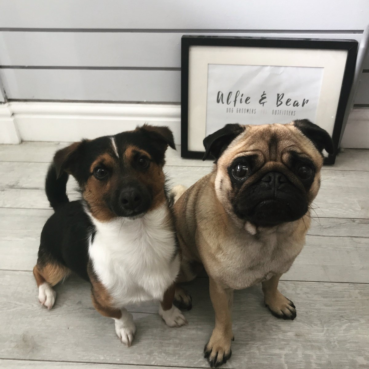 RT @AlfAndBear: Meet The Most Handsome New Boys  Benny & Monty  Welcome To The Pack    #DogGroomer #DogGrooming #Pug #JackRussell #DogSpa #DogGroomingSalon #Dogs #DogOfTheDay #DogsOfTwitter #DogLovers #NEFollowers #NewcastleUponTyne<br>http://pic.twitter.com/WR03hbhbGo