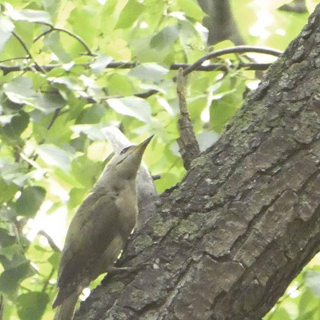 #greyheadedwoodpecker - New in my life list! #birder  #ヤマゲラ 初見でした。北海道固有種とのこと。 #円山公園 https://ift.tt/2XqgUK1pic.twitter.com/DjMdkqX8VS