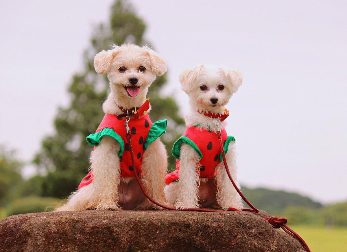 test ツイッターメディア - 先日 #ダイソー の #スイカ服 をゲットできました。 300円でこのクォリティは大満足です♥️ #ポメラニアン #トイプードル #ミックス犬 #多頭飼い https://t.co/AMhT0fyz3t