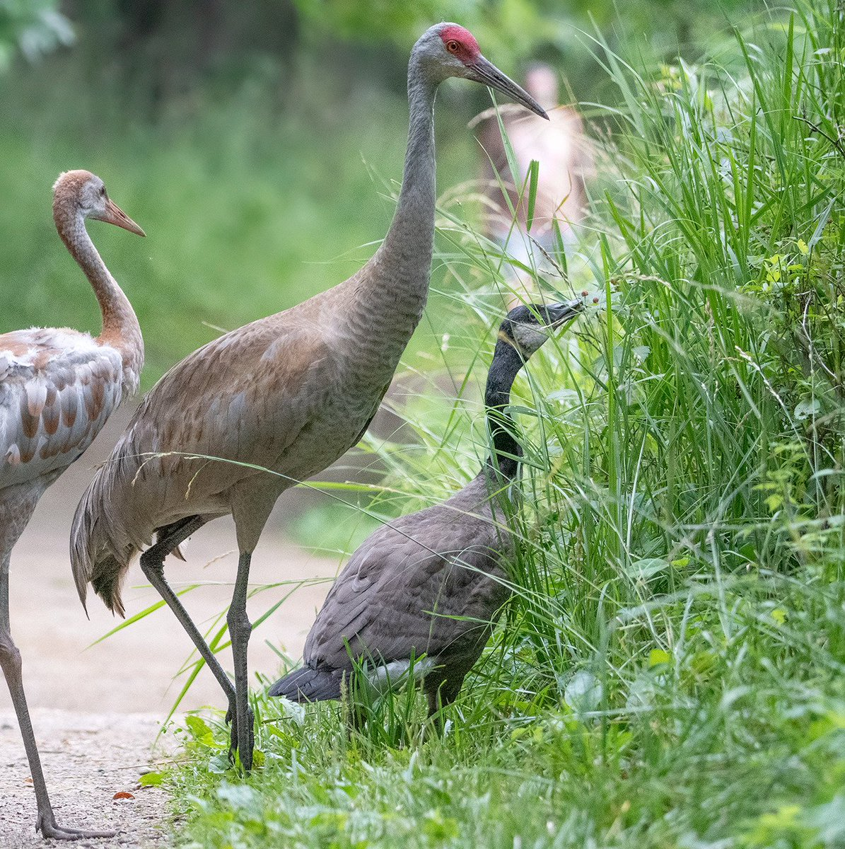Sandhill Crane Family With Adopted Gosling Jocelyn >> Jocelyn Anderson Photography On Twitter The Sandhill Crane Family