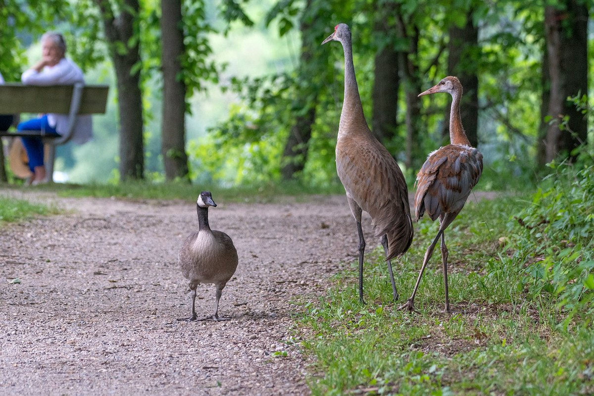 Sandhill Crane Family With Adopted Gosling Jocelyn >> 江苏环景园林建设有限公司 Ope体育app Ope体育滚球app Ope体育app