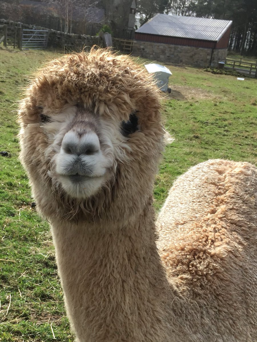 Bit wet but happy  #NORTHUMBERLAND #LoveYourPetDay #LoveWhereYouWork #lovewhereyoulive #alpacafarmer #alpaca<br>http://pic.twitter.com/CePRcOWMc2