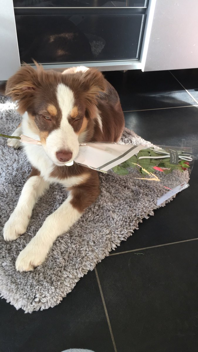 Hailey wishes you all a very late happy valentines  #hailey #australianshepherd #ValentinesDay2019 #ValentineDay #dogsoftwitter<br>http://pic.twitter.com/0jZAhvtHbn