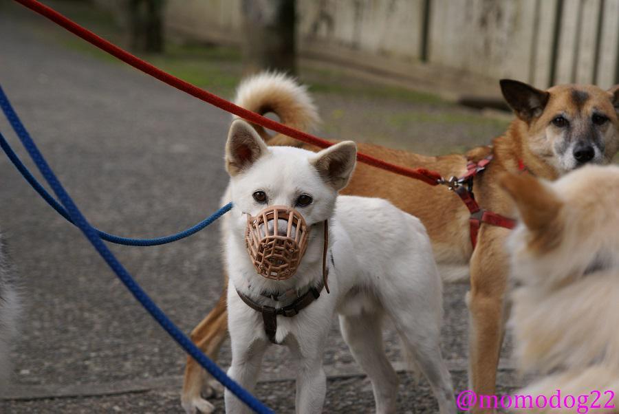 犬の口輪(マズルガード)は虐待か、という昨日のツイートの件、かわいそうというリプが殆どで驚いたのだが、噛み癖や拾い食い対策、傷舐め、治療中などの理由でも装着されるものです。動物病院でも中型以上は口輪で来院してというところもあるし、慣れない保護犬にもよく使われます。