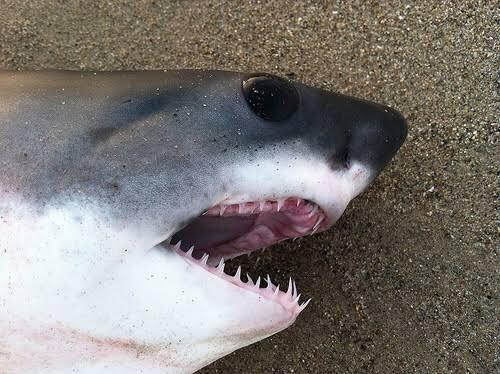 ホホジロザメの赤ちゃんwwwかわいいけど立派なキバwww
