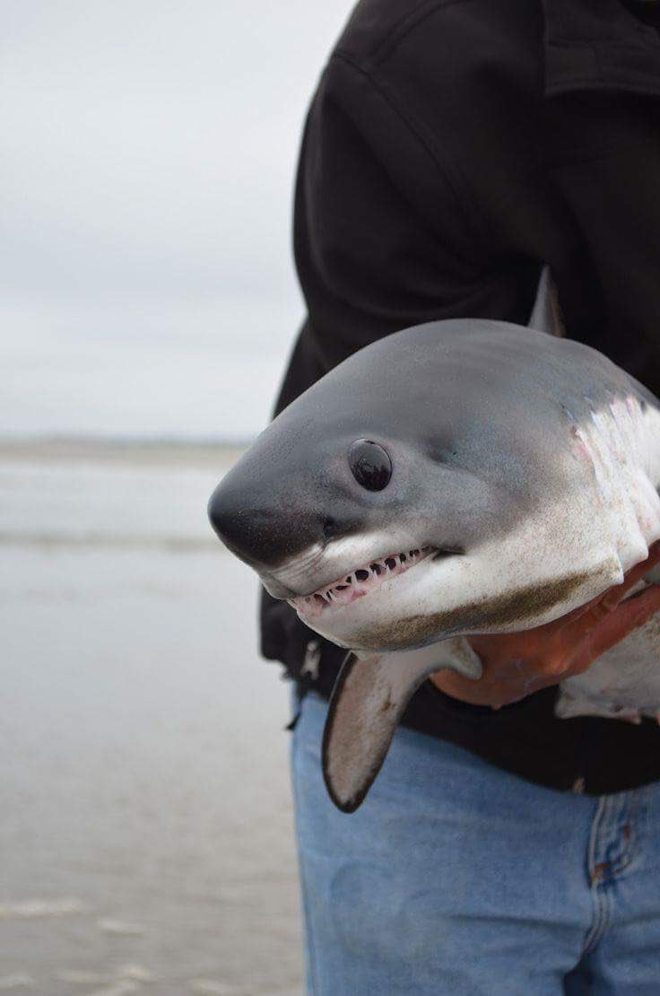 ホホジロザメの赤ちゃん