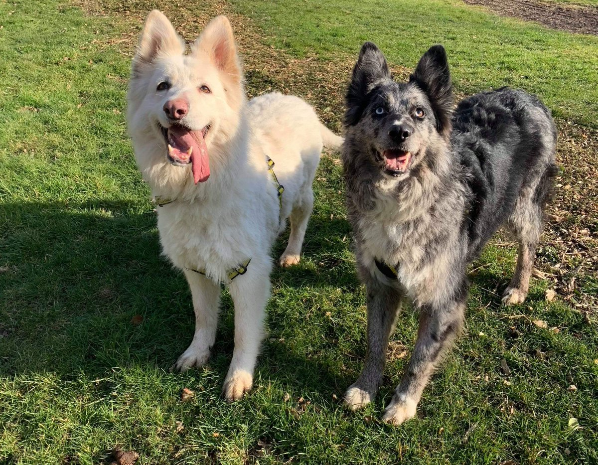 BLUE &amp; BELLA .  GSD &amp; GSD X  5 &amp; 7-years-old  Active  Likes a fuss once built up a relationship  They need a quiet, semi-rural, family home. Blue &amp; Bella must be rehomed together &amp; can live with children 16+ . Read more about this wonderful pair on our website <br>http://pic.twitter.com/OItwYTmI55