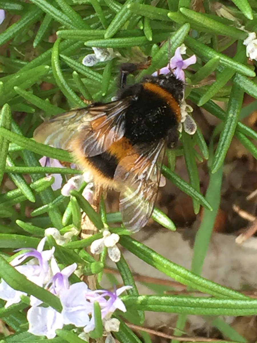 My first #bumblebee of the year busy on the rosemary bush. Buff-tailed bumblebee?? @BumblebeeTrust<br>http://pic.twitter.com/82CaVchi02