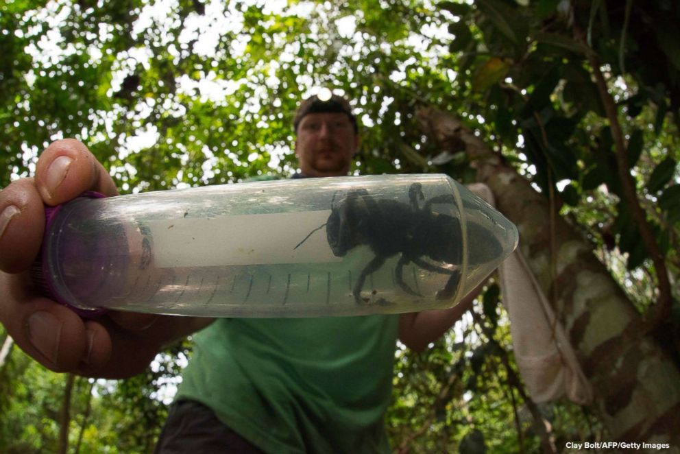World's largest bee photographed after vanishing for decades. https://abcn.ws/2SVG0ms