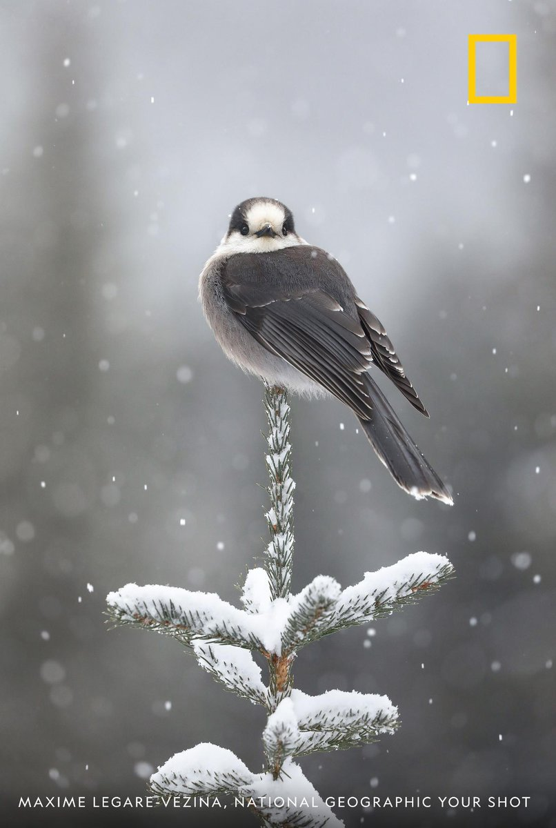A gray jay poised on a branch seems to make eye contact with photographer Maxime Legare-vezina in this beautiful image taken during a snowstorm in Quebechttps://on.natgeo.com/2GCUxgp