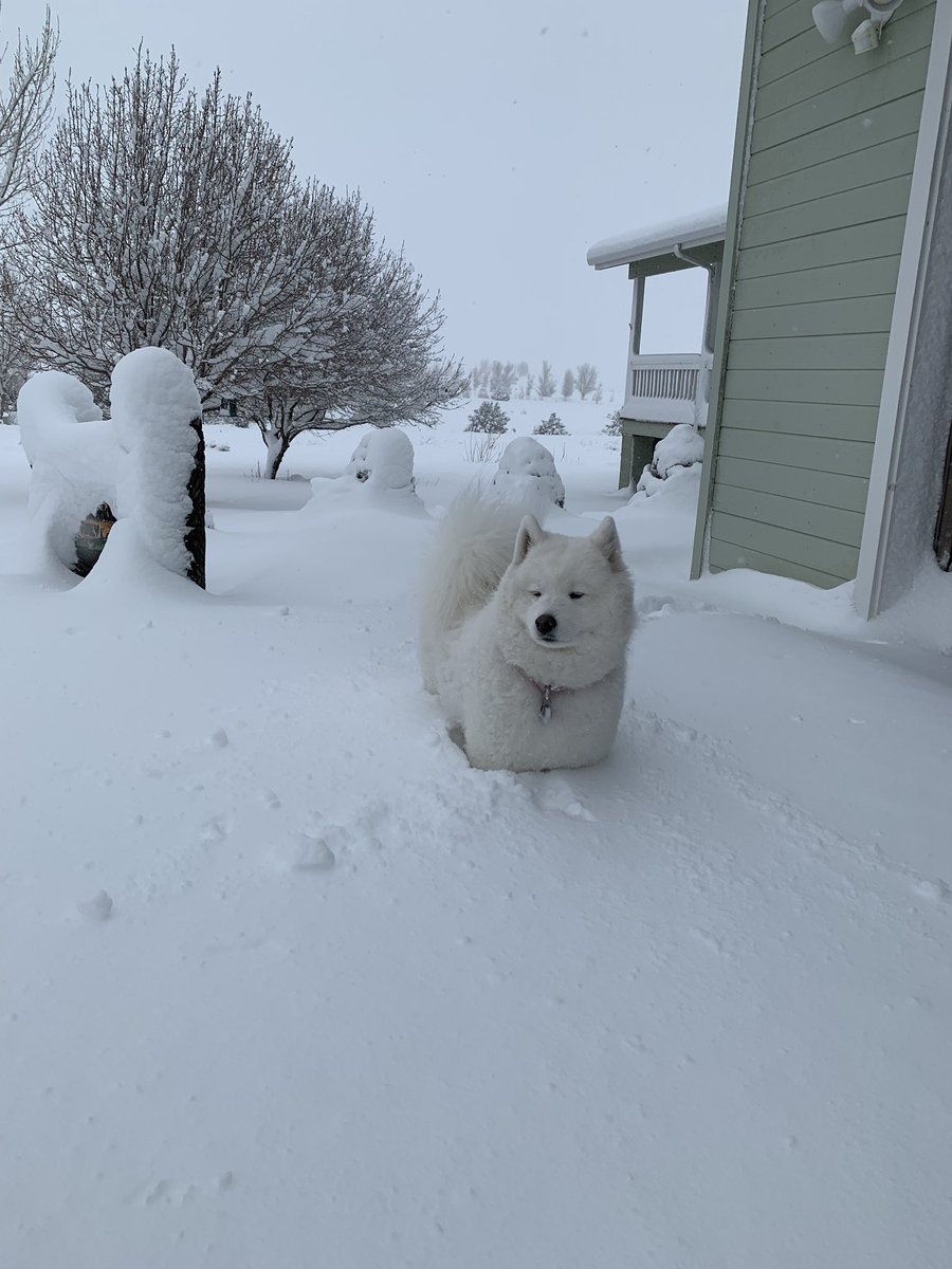 Lots of snow in Taylor, AZ! The snow is Zuzu approved @FOX10Phoenix #samoyed <br>http://pic.twitter.com/cht9SmhE0v