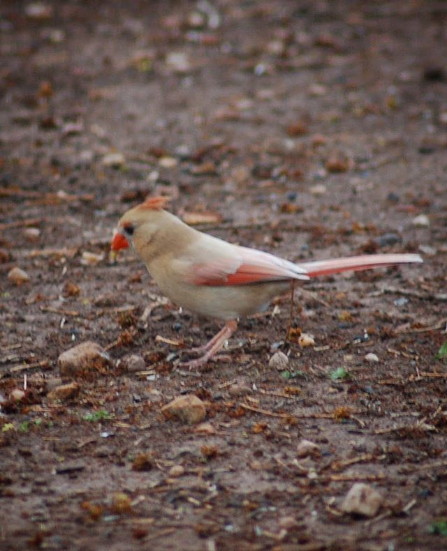#flashbackfriday to a beautiful leucistic cardinal that was a regular visitor to my feeders in Texas. (Still using the same Nikon D300🤷🏻♀️😣) #nature #naturephotography #wildlife #wildlifephotography #amateurphotography #bird #birding #birdphotography #l… https://ift.tt/2tuZCii