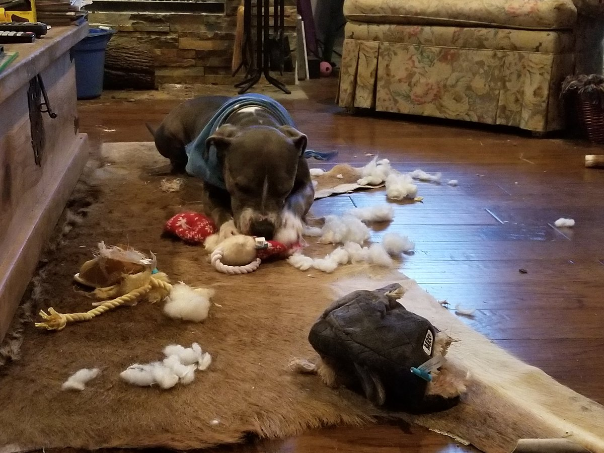 Vinny&#39;s carnage after Christmas.  Might be time for a new toy. Any recommendations, #dogsoftwitter? @notquiteold @TheGoldenRatio4 @ThoughtsOfRally<br>http://pic.twitter.com/PdaU5YIpTJ