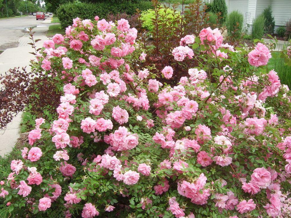 Gardening: Some Explorer roses trial results (Part 2 of 3) https://thestarphoenix.com/life/bridges/gardening-some-explorer-roses-trial-results-part-2-of-3?utm_term=Autofeed&utm_medium=Social&utm_source=Twitter#Echobox=1550860988 …