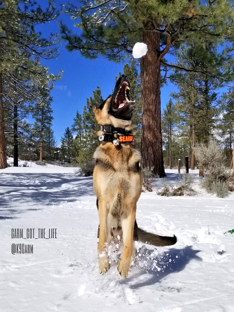 Couldn&#39;t just choose one! #SNOW and the #Moosedog is in heaven! #snowball #K9Garm #SARK9 #dogsoftwitter #dog #dogs #germanshepherd #gsd<br>http://pic.twitter.com/BOVARwSa5K