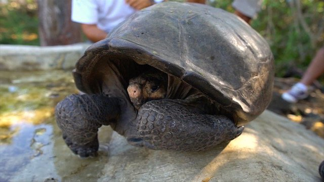 ► VIDEO: A species of giant tortoise which was thought to be extinct for 100 years has been found in the Galápagos Islands, creating hope of a breeding plan https://www.irishtimes.com/news/environment/tortoise-thought-extinct-for-100-years-discovered-in-gal%C3%A1pagos-1.3802807…