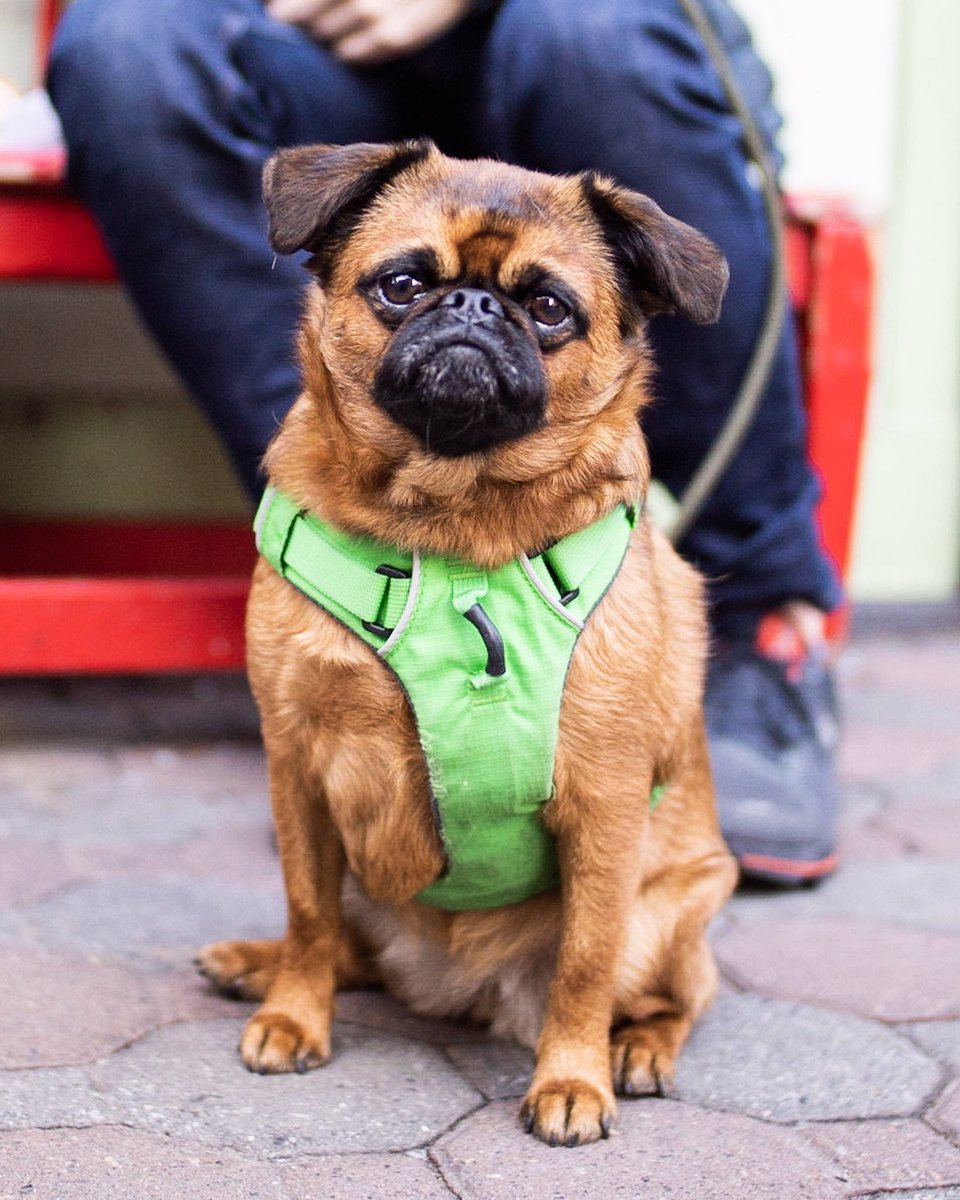 """Francis, Brussels Griffon (2 y/o), Prince &amp; Sullivan St., New York, NY • """"She's frustrated by winter because we don't go to the dog run as much."""" <br>http://pic.twitter.com/Kn57jDZNKI"""