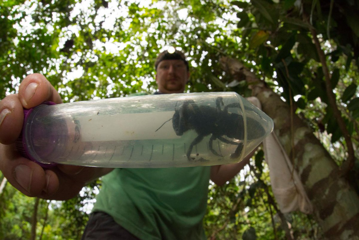 """Long lost monster bee with """"immense jaws"""" rediscovered in wild after 40 years  https://trib.al/C3hdvP3"""