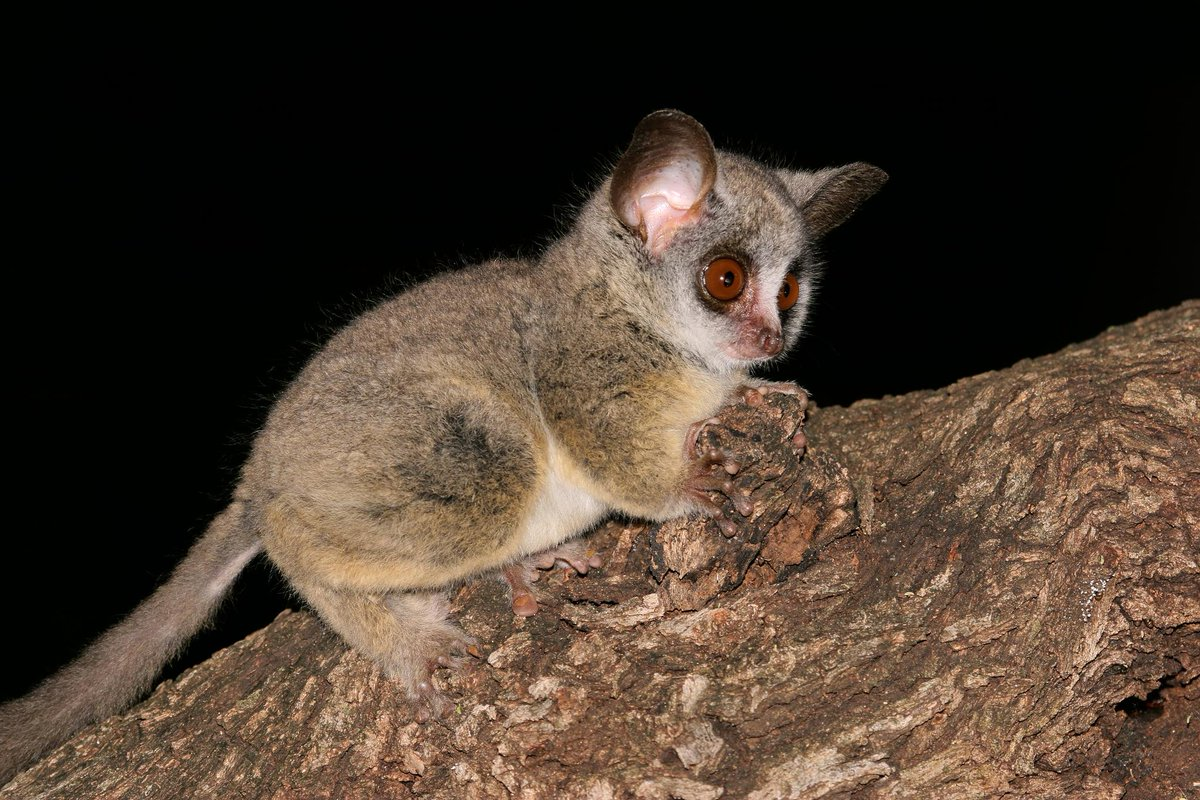 Can't sleep? Neither can this galago. 🐾  Mostly because he's nocturnal, but also because he loves watching @NakedAndAfraid on Discovery GO ---> http://bit.ly/2txj4el