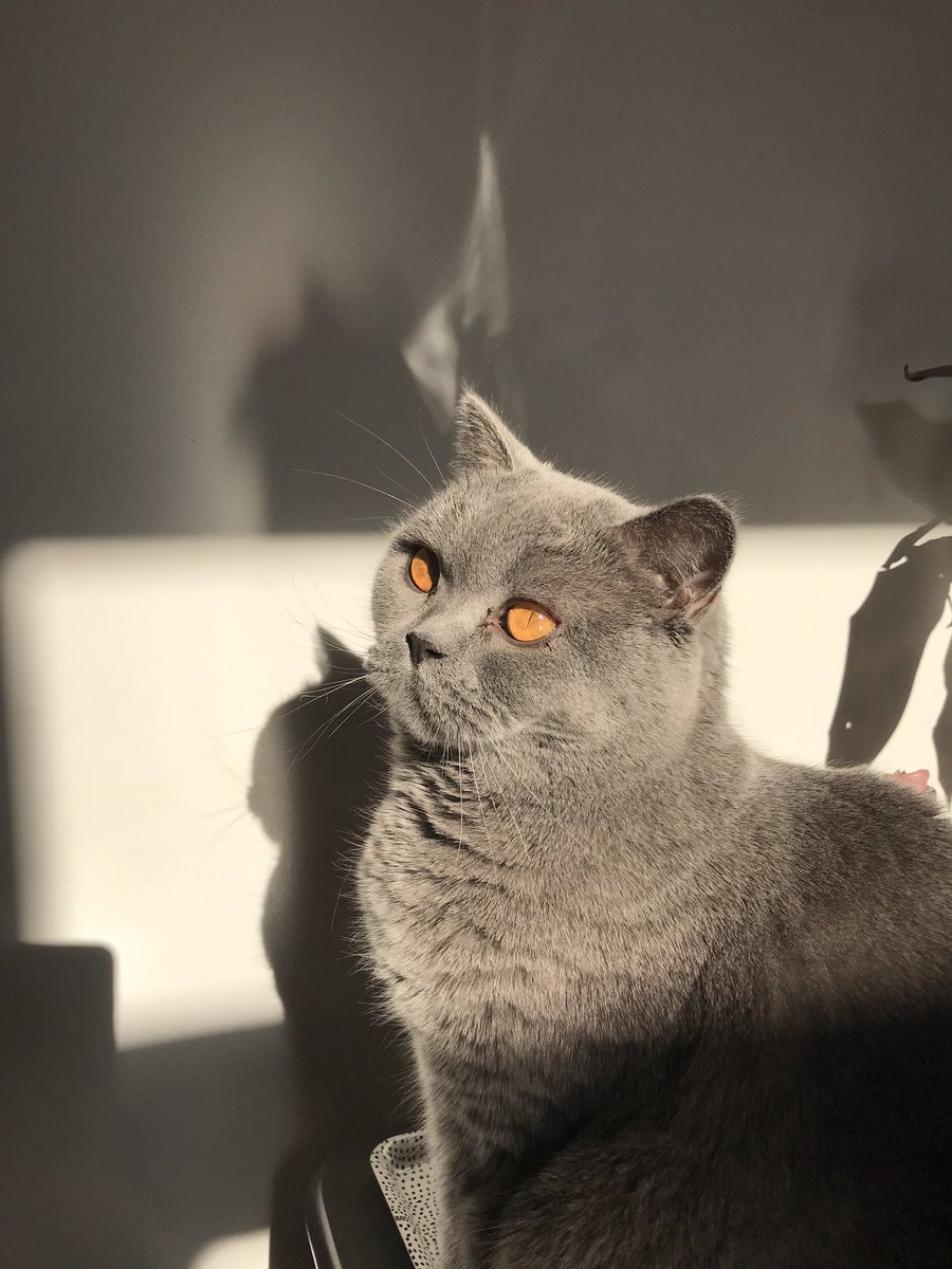 I think this is my best catalogue pose. What d'ya think?  #cataloguecat #Caturday #cats #elvisthebluecat #britishblue #britishshorthair #CatsOfTwitter #catchat #catlife <br>http://pic.twitter.com/hM8QIAfxhP