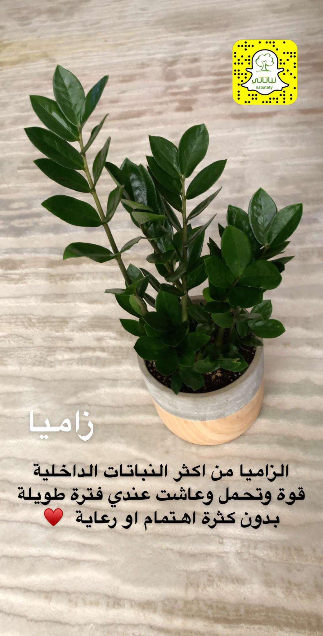 نباتاتي On Twitter حديثنا اليوم عن نبتة الزاميا في حسابنا على سناب تشات Https T Co 6dpkt7ddlm تابعونا