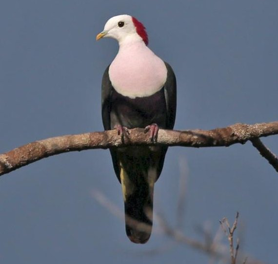 Red-naped Fruit-dove (Ptilinopus dohertyi) #painting #art<br>http://pic.twitter.com/dqrAAGVBsQ