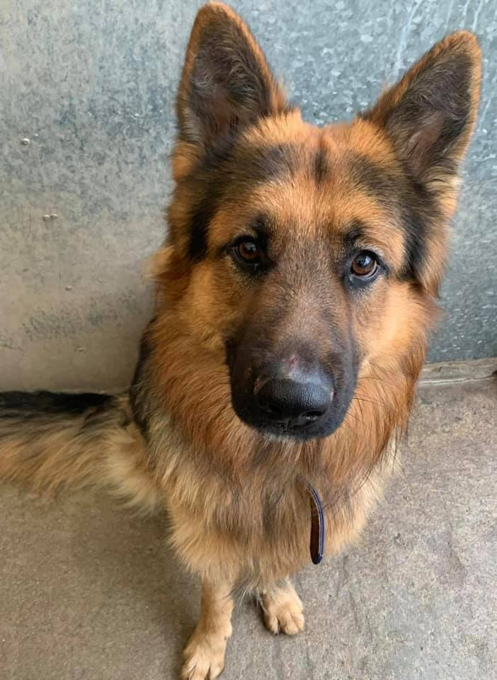 18mth old Kaiber is getting all the training and boundaries at our #Bristol kennels that he missed out on, he will still need an exp child and pet free home that can continue his training  #dogs #GermanShepherd   http:// gsrelite.co.uk/kaiber/  &nbsp;  <br>http://pic.twitter.com/2sRw8gsFk3