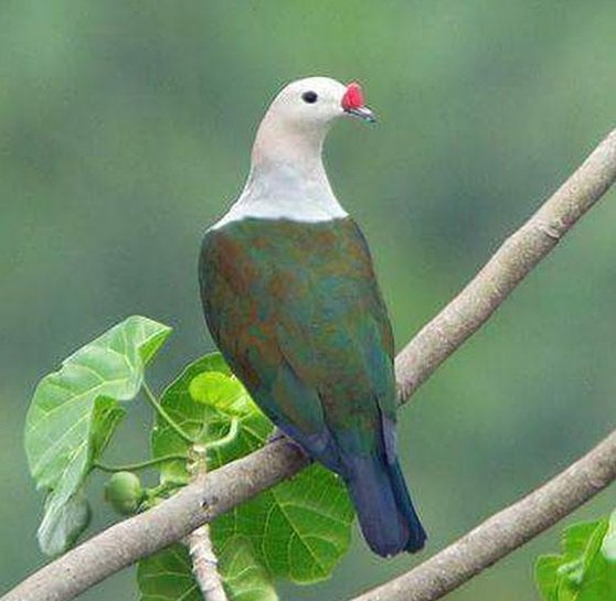 Red-knobbed Imperial Pigeon (Ducula rubricera) #painting #art<br>http://pic.twitter.com/tP0Wx02uu6
