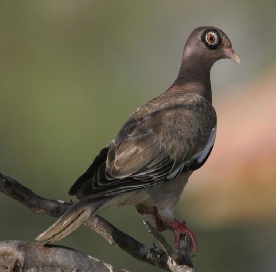 Bare-eyed Pigeon (Patagioenas corensis) #painting #art<br>http://pic.twitter.com/UNPsm4W5E7