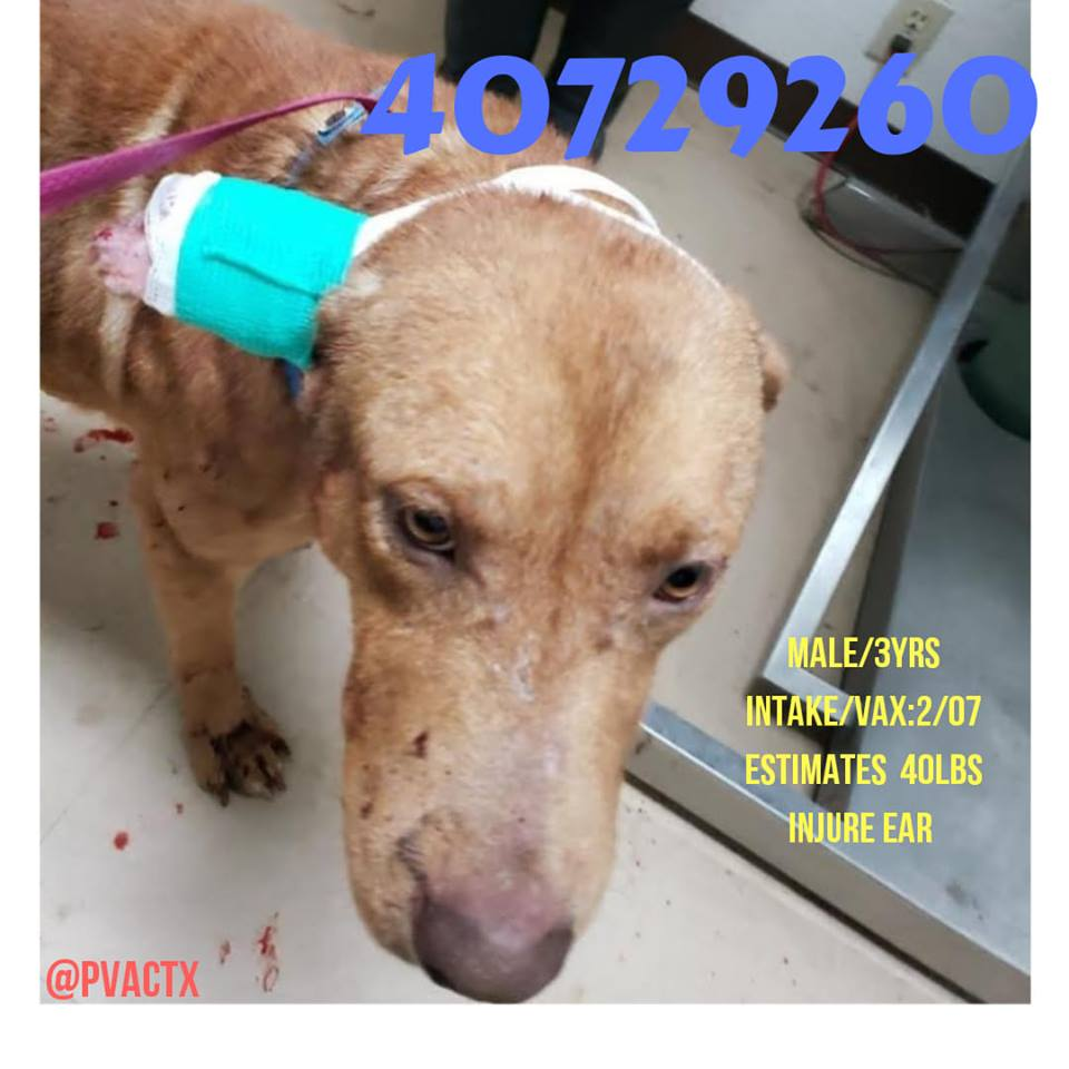 POOR BOY KILO WENT INTO A FIGHT GOT INJURED EAR - NOT THE FIRST TIME AT PVAC....BUT HE&#39;LL BE THE ONE WHO PAYS ...NEED TO EXIT BEFORE 02/23 OR WILL PALM VALLEY ANIMAL CENTER/BEST FRIENDS NO PUBLIC NETWORK  KILLING DAY AFTER DAY YOU&#39;RE MY ONLY CHANCE lifesaving@pvactx.org <br>http://pic.twitter.com/7gkIDqr3OA