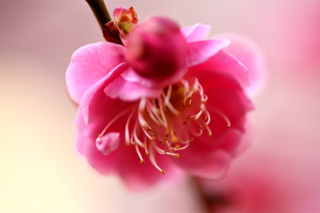 opic_photo Ume #japan #tokyo #suginami #suginamiku #nikon #d850 #d3s