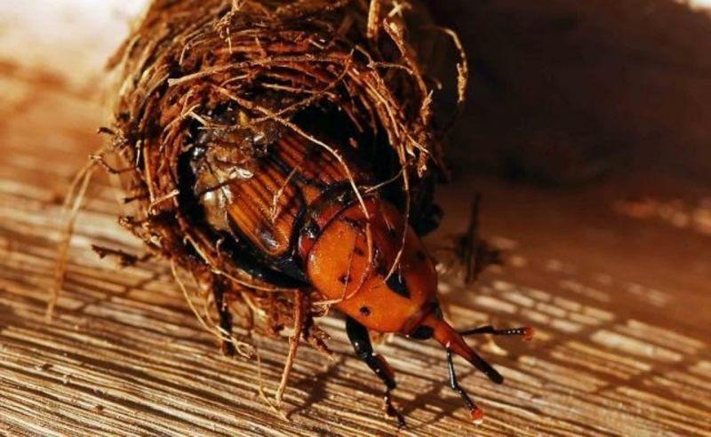 жуки в сочи фото сацибели грузинский
