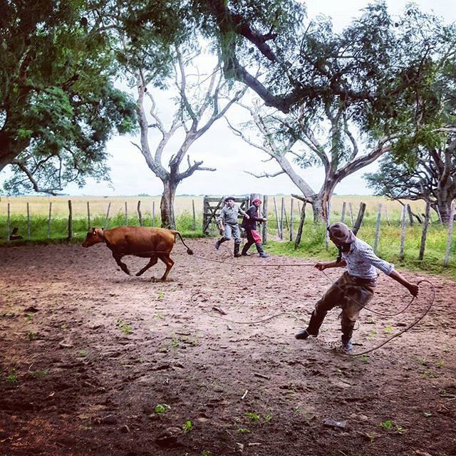 Gauchos rope in a young steer to test for signs of illness amongst the herd. #argentina #esquina @estanciadonjoaquin https://ift.tt/2U2SdlQpic.twitter.com/TCoCtamxsR