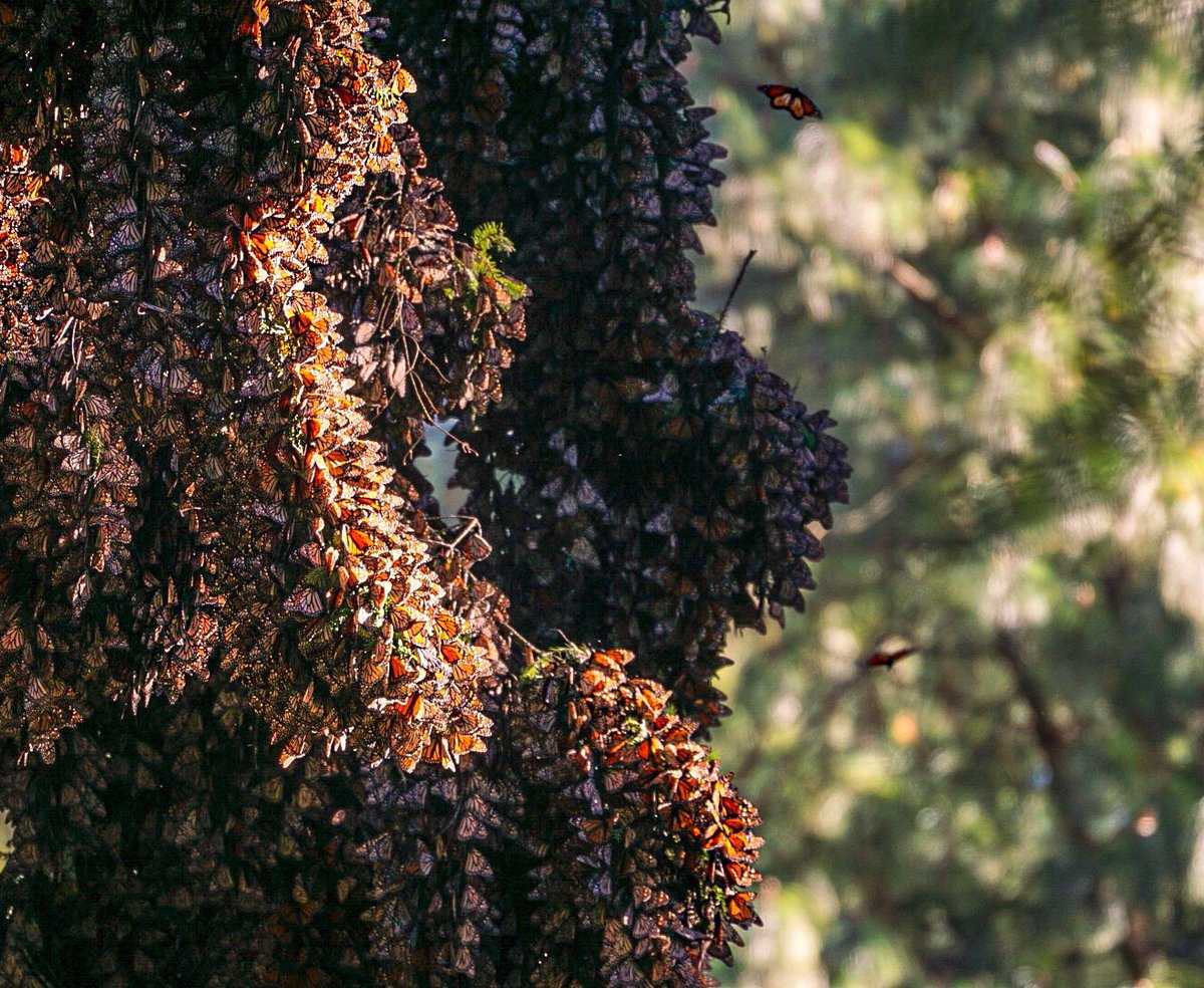#ExploreWithSven : MONARCH MIGRATION ...#Monarch #Butterflies fly in their hundreds of millions to #Mexico every #Fall & #Winter . It's one of the most mysterious #migrations in the natural world and it's at risk.  https://www.youtube.com/watch?v=SoGhuBb7oYc…