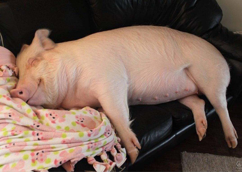Картинки, смотреть смешные картинки сл спящими тремя поросятами