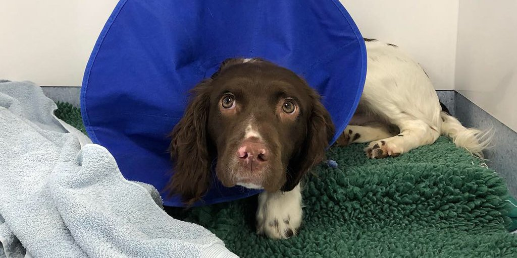 Meet Flint, a 7-month-old Springer Spaniel puppy being treated for a #mastcelltumour. His family asked for advice about his suspicious lump in our #WorldCancerDay Q&A, which we recommended was tested.  Read all the Q&As answered by oncology specialists   http:// bit.ly/2EyAvBq    <br>http://pic.twitter.com/IR5jwC9Awz