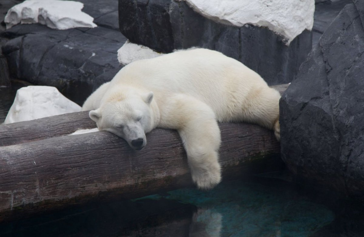 Unsurprisingly, in a move motivated by money, #SeaWorld separated the bonded bears Szneja & Snowflake.  When #SeaWorld took Snowflake away, Szenja gave up hope. She passed shortly after. #InternationalPolarBearDay <br>http://pic.twitter.com/KjCsKaQUzv