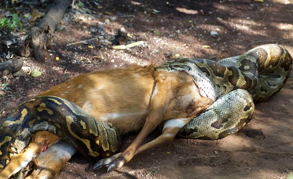 картинки змей которые едят людей настоящее время это