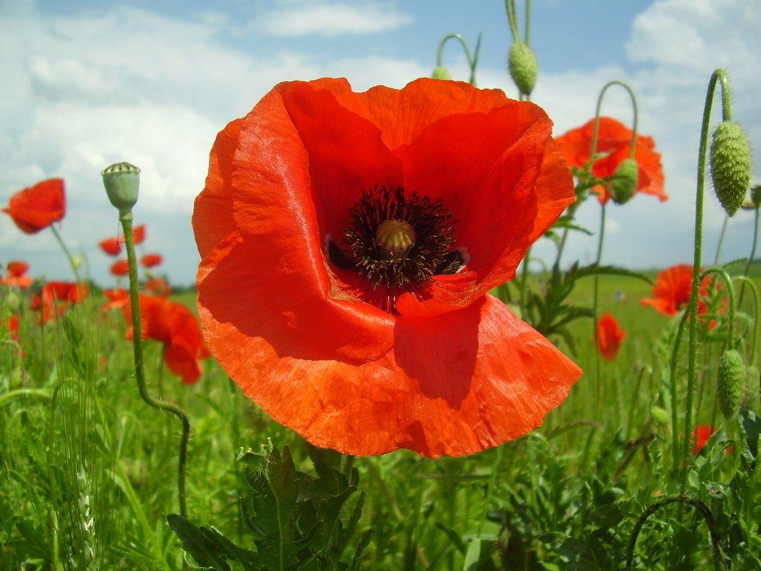 Цветок мак картинки, днем рождения цветах