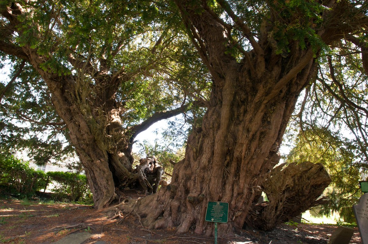 """The Tree Council on Twitter: """"In honour of #StDavidsDay, here's the  Llangernyw Yew! 11m in girth, this mighty tree adorns St Digain's  churchyard in sleepy Llangernyw, #Wales. It's thought to be around"""