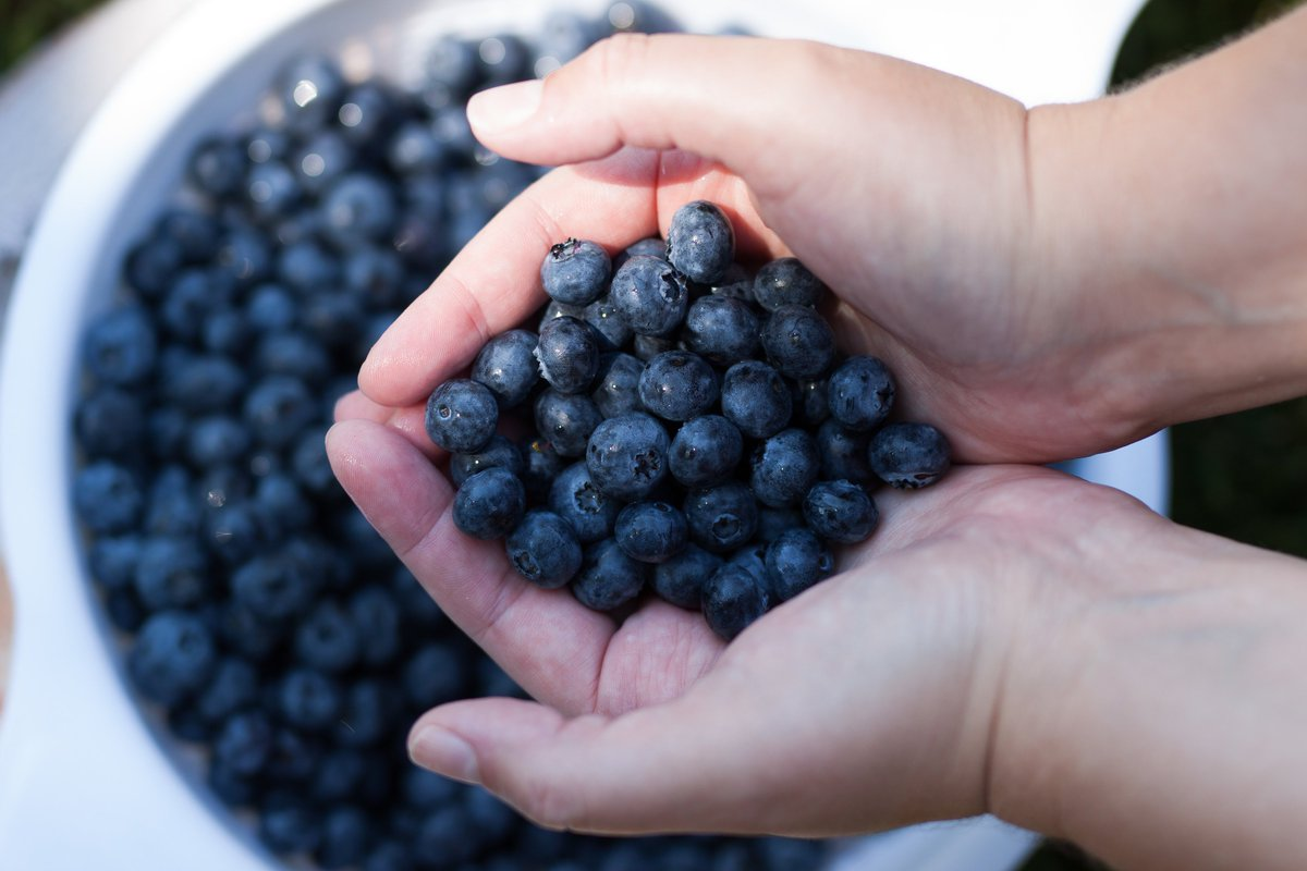 Grab a handful of blueberries. They taste good and are good for you! Open 10 AM - 3 PM every Friday #KlaassenFarms #Chilliwack #TheFraserValley #foodies @circlefarmtour @BCFarmFresh #ShareChilliwack #BCFarmFresh https://t.co/zojmdsZOeB