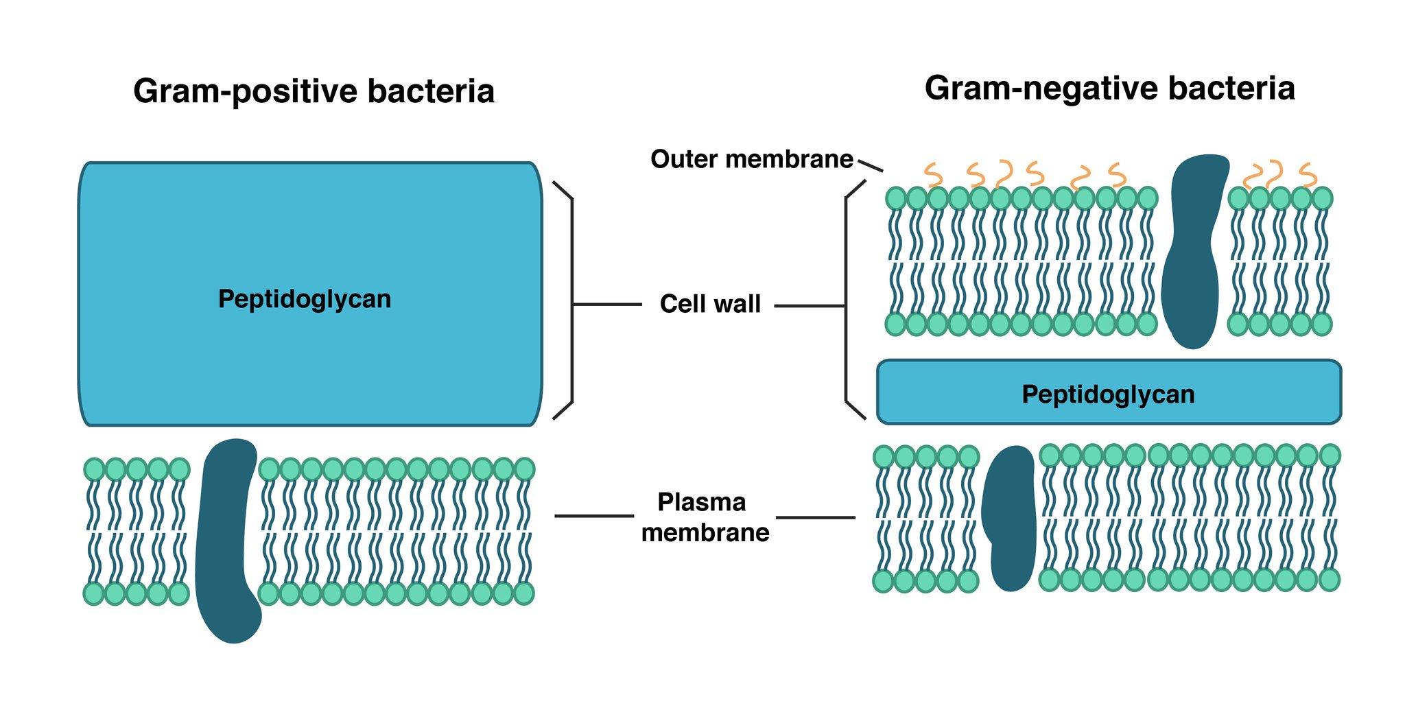 M I C R O B I O L O G Y V Twitter الجدار الخلوي Call Wall يتكون الجدار الخلوي للبكتيريا من مادة بيبتيدوجلايكان Peptidoglycan