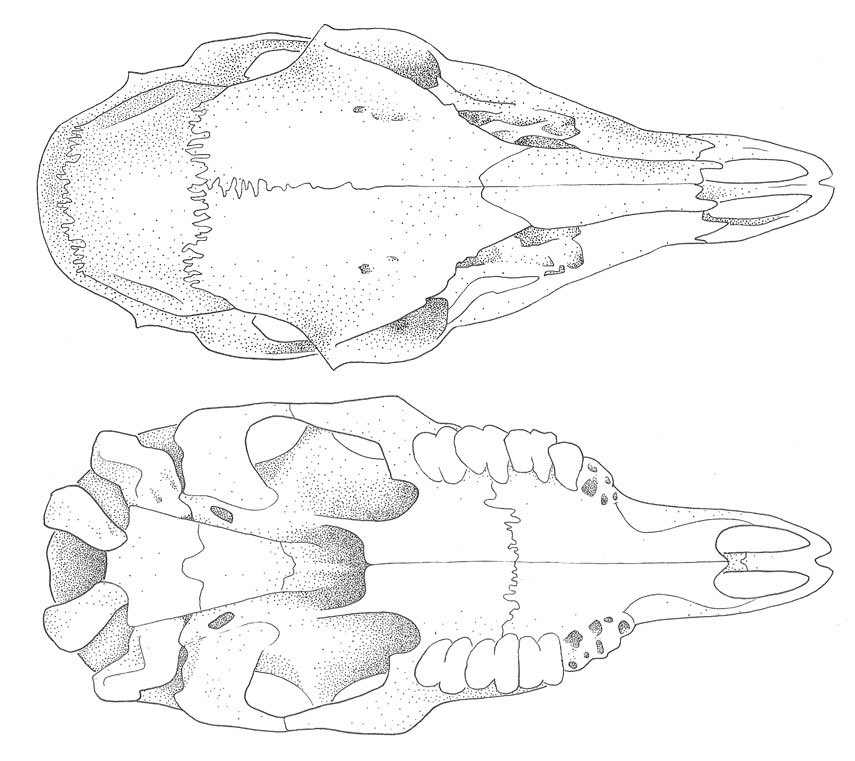 Dolphin Skull Diagram