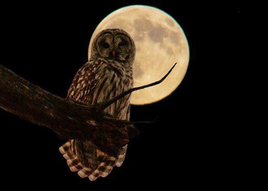 Seruput Kopi Panas A Twitter Pernah Dengar Peribahasa Bagaikan Pungguk Merindukan Bulan Pungguk Adalah Nama Burung Sejenis Burung Hantu Yang Keluar Malam Untuk Mencari Makan Dan Suka Memandang Bulan Arinya Kasih Tak
